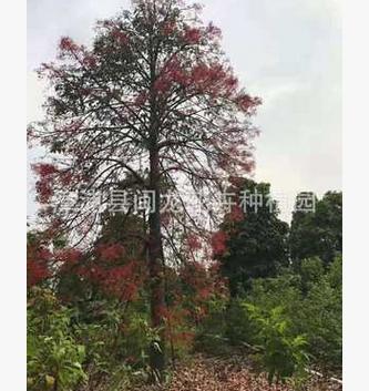 澳洲火焰木乔木绿植厂家直销批发 行道庭院园林绿化景观工程苗木
