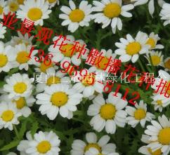 福建厦门二月兰花种