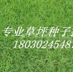 福建厦门彭州结缕草种子图片及价格