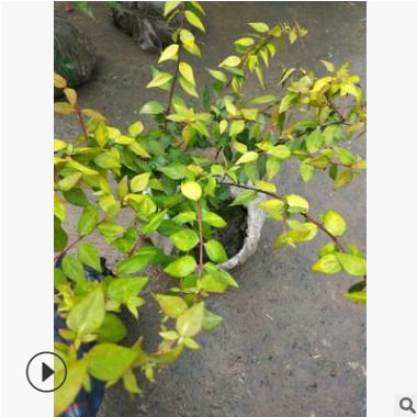 六道木大杯 水生植物水生灌木 园林绿化常绿乔木批发