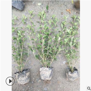 六月雪小杯 水生植物 水生花卉 灌木花卉 园林绿化 常绿乔木