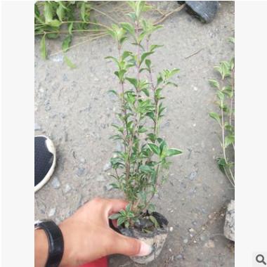小丑火棘小杯 园林绿化 水生花卉 灌木花卉 水生植物·