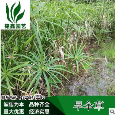 旱伞草.绿化木.基地直销各种规格水生植物绿化工程用.风车草