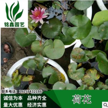 荷花 盆栽荷花基地销售各种规格 荷花水生植物种植绿化工程木