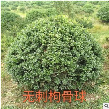 无刺构骨球 萧山 灌木花卉 园林绿化 常绿乔木 水生植物 水生花卉