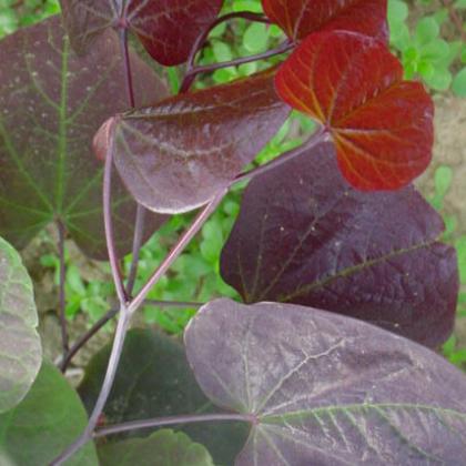 供应紫叶紫荆,量大从优