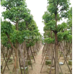 福建漳州精品秋枫