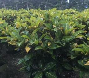 福建漳州变叶木
