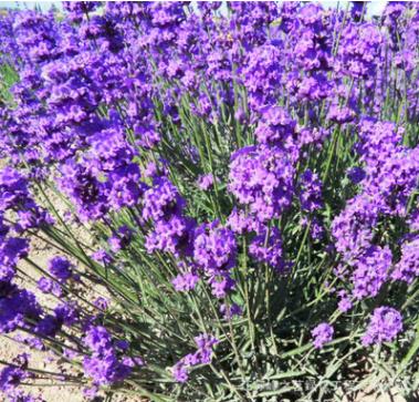 薰衣草种子批发 普罗旺斯薰衣草籽 发芽率高 当年新采花草种子