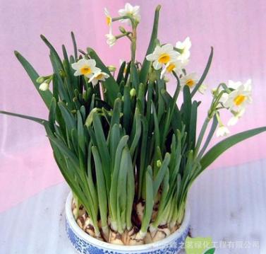 水仙花种球 办公室水培植物彩色洋水仙 当年开花 水仙种球花卉