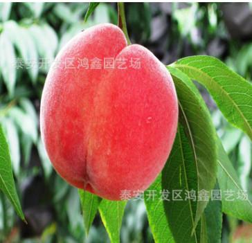 映霜红桃树苗批发价格 黑珍珠樱桃苗