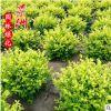 冠30-1.5米金叶女贞球 园林观赏风景树湿地绿化学校马路植物