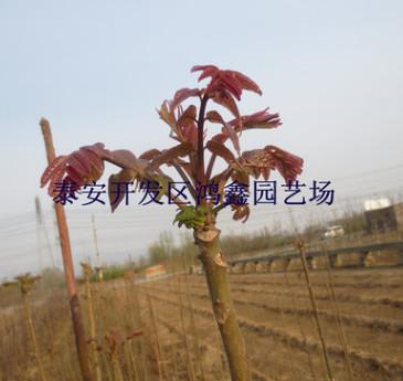 基地批发香椿树苗 当年可食用红芽香椿