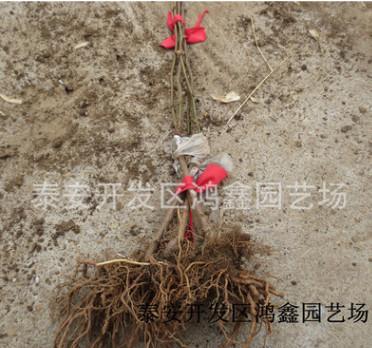 1年生猕猴桃苗多少钱一棵 泰山一号猕猴桃树苗基地