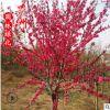哪里有卖紫叶桃 4-12公分紫叶碧桃 学校园林观赏植物小苗风景树