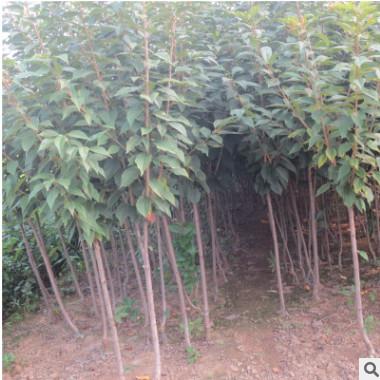 矮化樱桃小苗批发价格 泰安矮化樱桃树苗 果树苗木