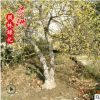 批发腊梅苗 耐寒腊梅树苗 园林观花植物腊梅小苗 规格全腊梅树