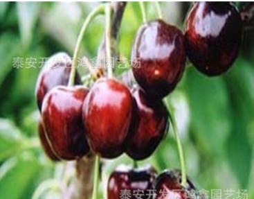 哪里有车里子樱桃苗 大紫樱桃树苗接穗怎么卖