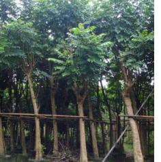 福建漳州火焰木