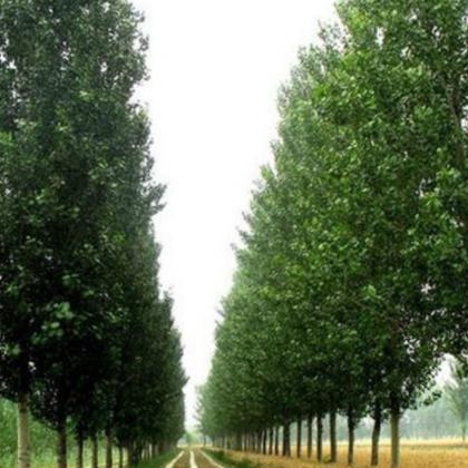 苗圃供应苗木树苗 杨树