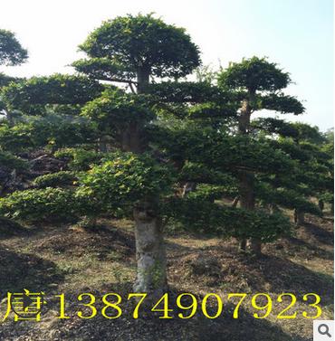 造型榆树 园林景观绿化盆景树 榆树桩 直销批发榆树 造型基地