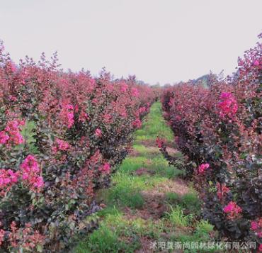 基地直销 天鹅绒紫薇 丛生苗 独杆苗 花色鲜艳美丽 紫薇花海首选