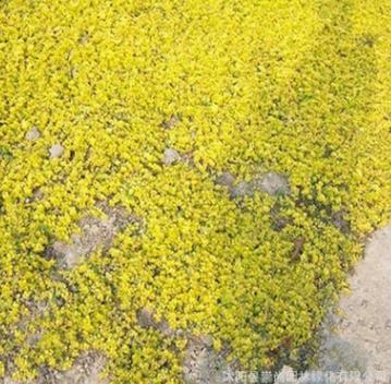 批发 金叶过路黄 报春花 多年生宿根地被 彩色地被 量大送货上门