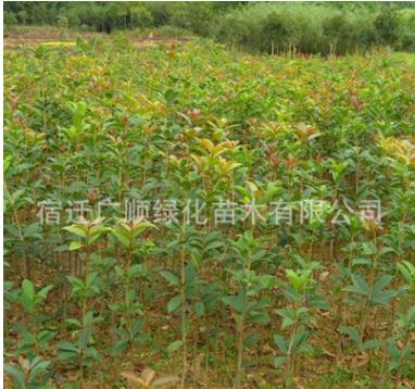 桂花苗批发绿化苗木行道种植庭院飘香植物量多从优桂花树苗