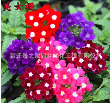 花卉种子 美女樱种子 盆栽花种子 四季易种花种 种子批发