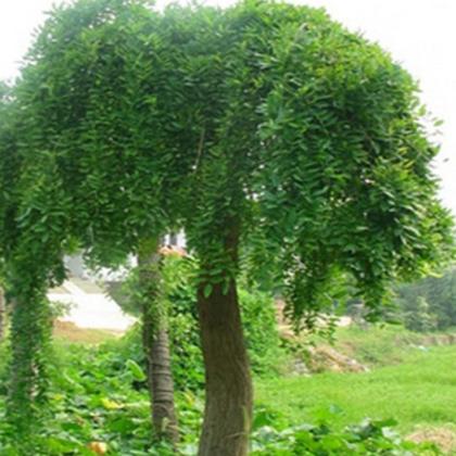 批发树苗 庭院四季常青绿化苗木龙爪槐树苗