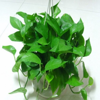 供应 盆栽植物花卉去甲醛四季常青绿萝吊兰绿萝批发