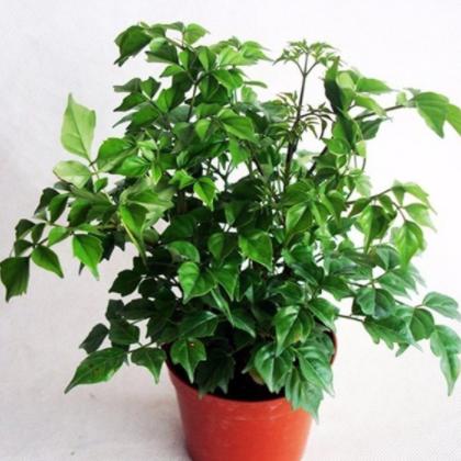 供应小幸福树 富贵观叶植物小盆栽