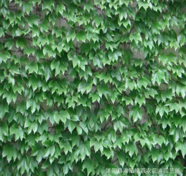 批发攀缘植物 爬山虎苗 爬墙高手 爬墙爬藤植物五叶地锦 耐寒耐旱