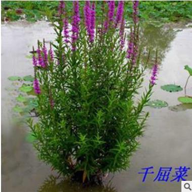 常年供应优质水生植物 千屈菜 千屈草 价格低廉 净化水质水草批发