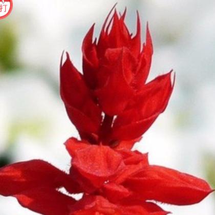 一串红 红花鼠尾草种子春夏播花卉盆栽易种植物花草花籽 单品主打