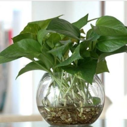 供应 绿色植物 花卉 办公室盆栽 水养绿萝 绿萝