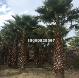 大量批发精品福建华棕杆高1-9米 价格便宜