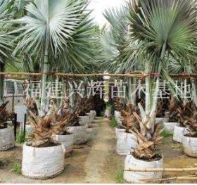 长期供应霸王棕、棕榈种植基地