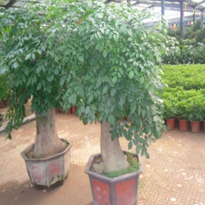 批发独杆发财树 大型植物盆栽
