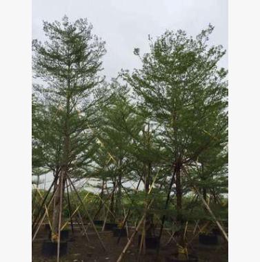 基地直销小叶榄仁 大量批发 园林景观工程供应 规格齐全