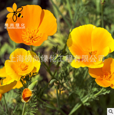 基地直销批发质优花凌草种籽 园林花卉栽培观赏花籽 易种植