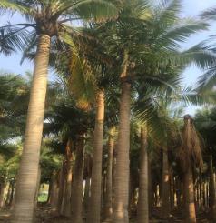 福建漳州国王椰子