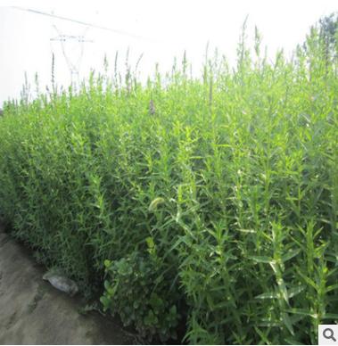 基地批发千屈菜 水生植物 常年供应水体净化规格全货源充足