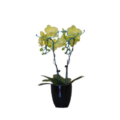 厂家直销 观赏 盆栽 蝴蝶兰蝶兰 价格面议 欢迎询价