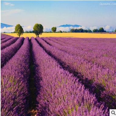 进口薰衣草种子 四季易种 普罗旺斯薰衣草种子 花海打造种子