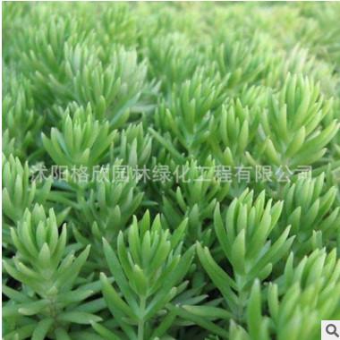 基地特供绿化专用草 耐旱 佛甲草种植技术佛甲草种子低价优惠