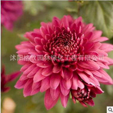 直销花草种子大小丽花 量大优惠 种子大小丽花种子销售 花卉种子