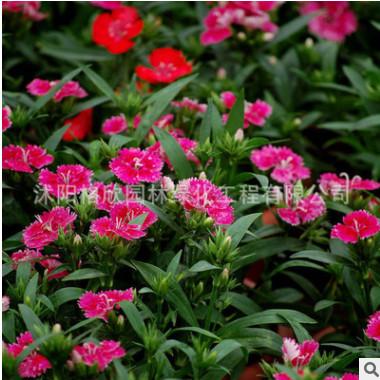 供景观花卉种子-石竹 石竹种子 五彩石竹种子 地被石竹 量大优惠