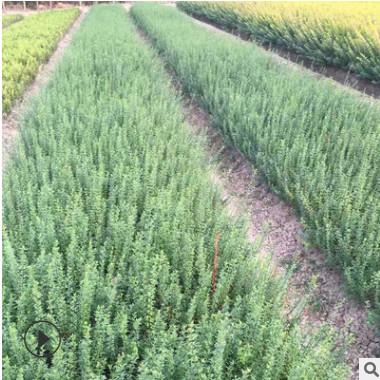 迎春花苗基地直销 园林绿化树苗盆栽 常绿灌木 河南迎春批发