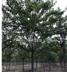 高杆早樱分枝1.8-2.0米,8-11公分,数量2万棵